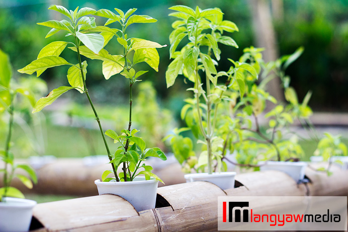 Herbs grown in aquaponics bamboo system