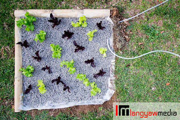 Top view of aquaponics plot
