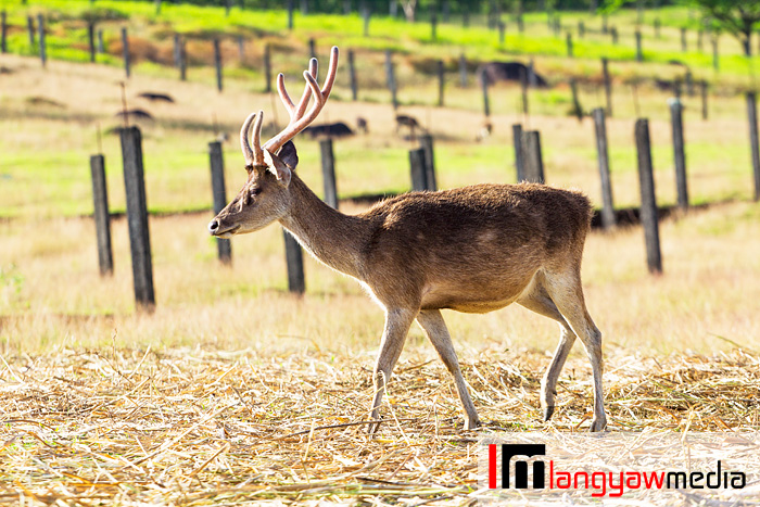A stag roaming the farm grounds