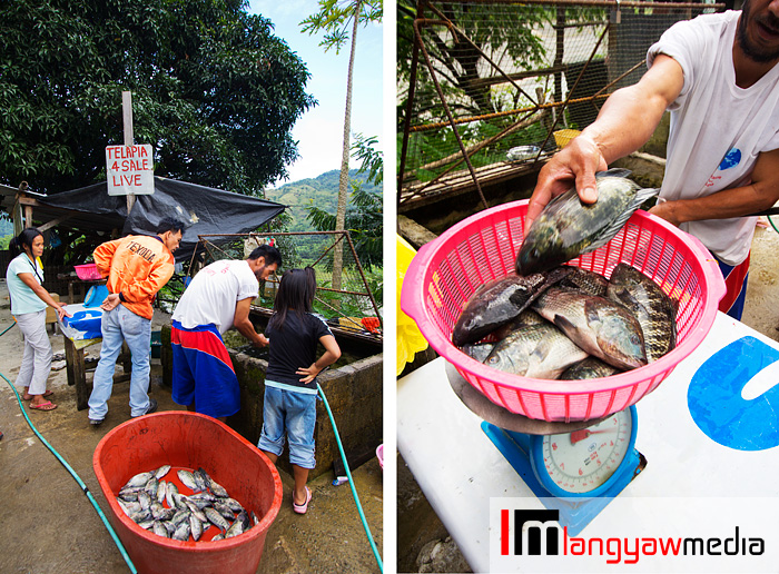 Tilapia fishes caught and weighed for buyers along the road in Ambuklao