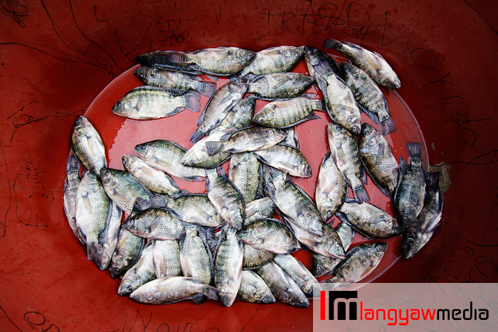 Tilapia fishes grown in the Ambuklao River is readied for buyers along the road in Ambuklao