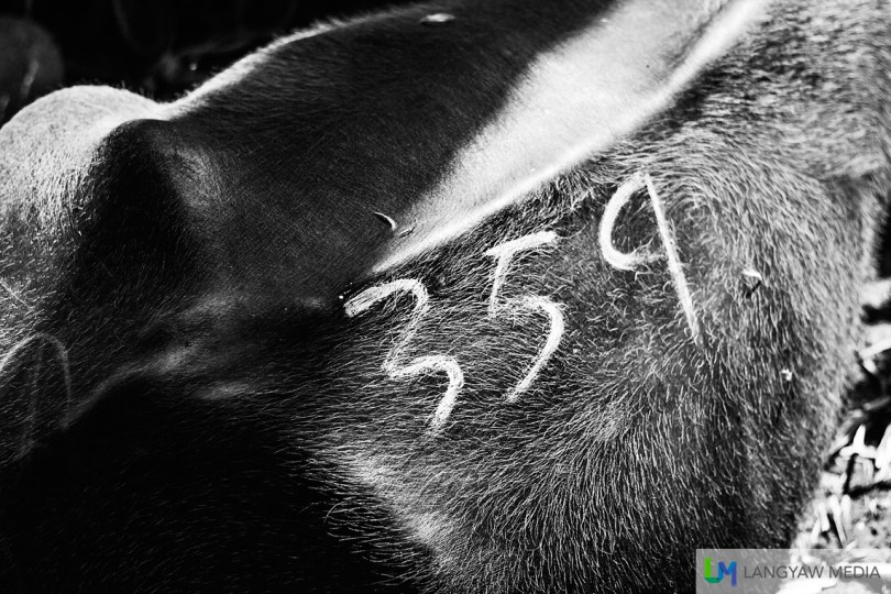 A carabao is numbered for auction