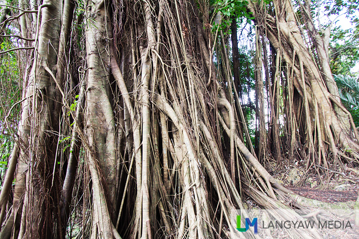 The tangle of roots of the balete tree