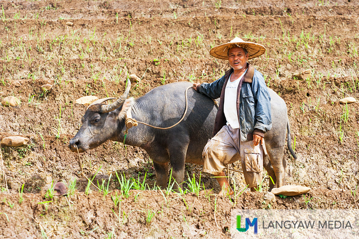 A farmer and his carabao readying the rice terraces