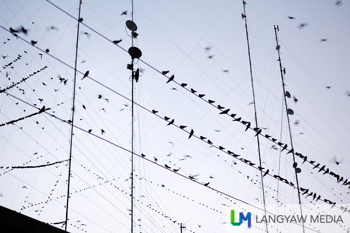 Swifts congregating at downtown Zamboanga City's electrical wires