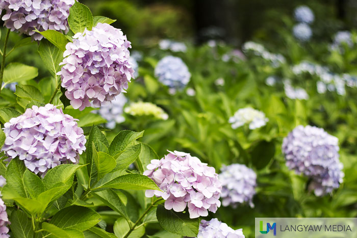 Ajisai or hydrangeas which are also popular with the Japanese other than the Sakura