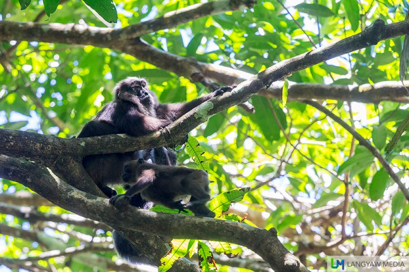 A Sulawesi moor macaque (Macaca maura) is one of the wildlife in the national park and is considered an endangered species