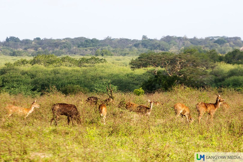 A herd of Indian muntjac at the savannah