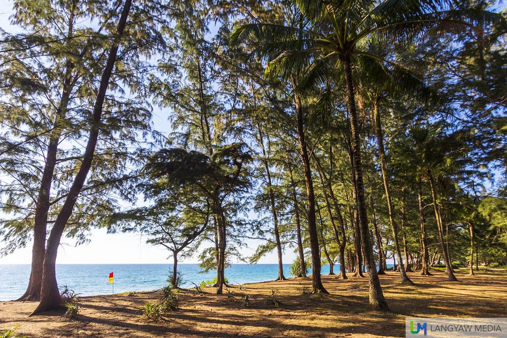 Casuarina trees by the beach