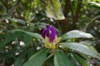 A budding rhododendron