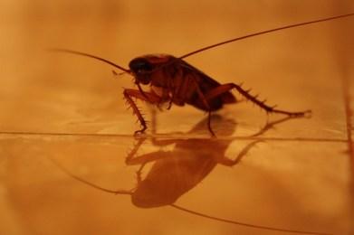 Cockroach in my bathroom, Colombo