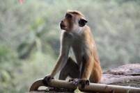 Contemplative monkey, Yapahuwa rock temple