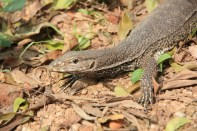 Monitor lizard, Polonnaruwa