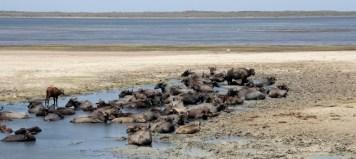 Water buffalos wallow in Bandala national park