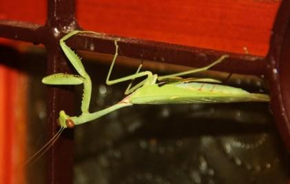 Our first visitor in Goyambokka was this Praying Mantis