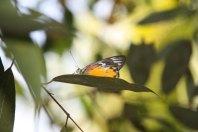 Butterfly, Gaung Se Kyun island