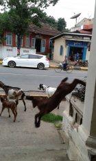 Naughty goats, Pyin Oo Lwin