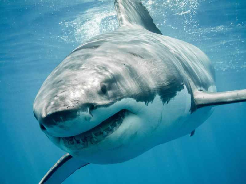 tiburón mordida