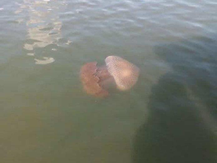 se-han-visto-especies-invasivas-de-medusas-en-tres-playas-de-carolina-del-norte