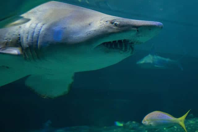 Acuario lamenta la pérdida del tiburón tigre de arena Jolene