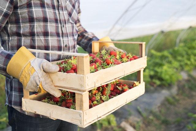 Comienza la temporada de fresas en condado de Chatham