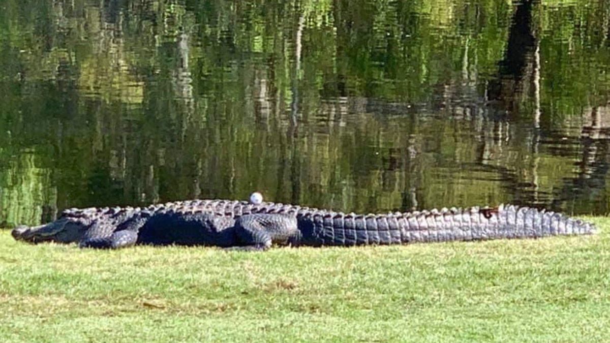 Golf Carolina del Sur caimán