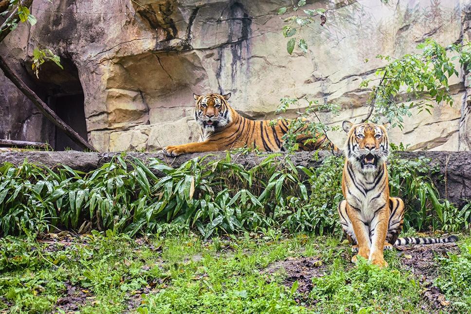 Dos tigres del zoológico de Virginia dan positivo para COVID-19
