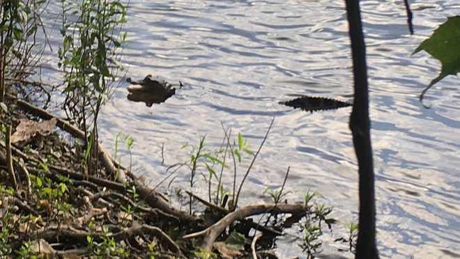 cocodrilo río susquehanna