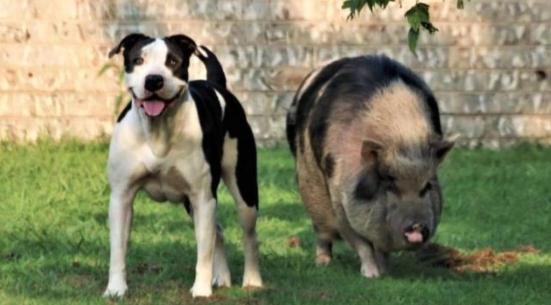 Cerdos Mascotas Chapel Hill