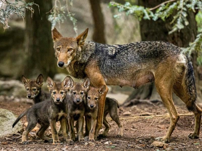 Ayuda a nombrar seis cachorros de lobo rojo en el zoológico de Carolina del Norte