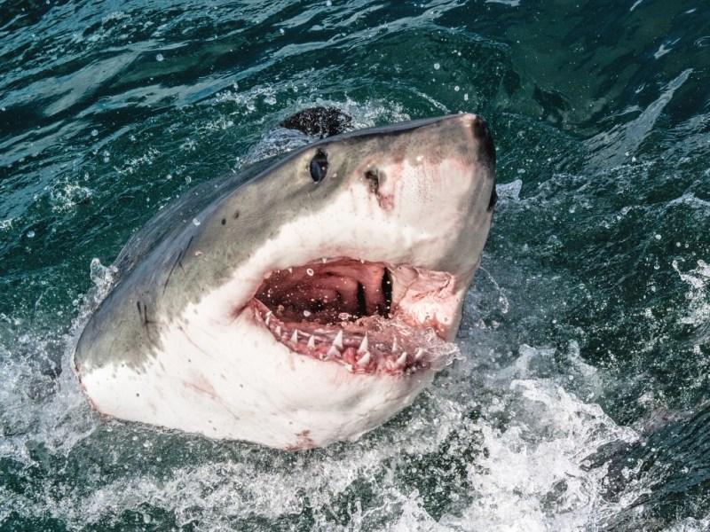 Gran tiburón blanco masivo visto en Carolina del Norte