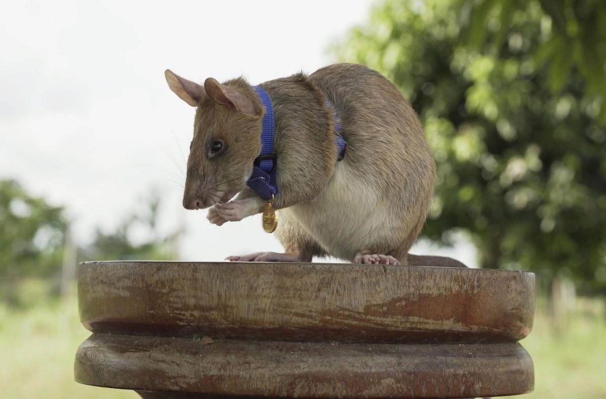 Magawa-rata-héroe-minas