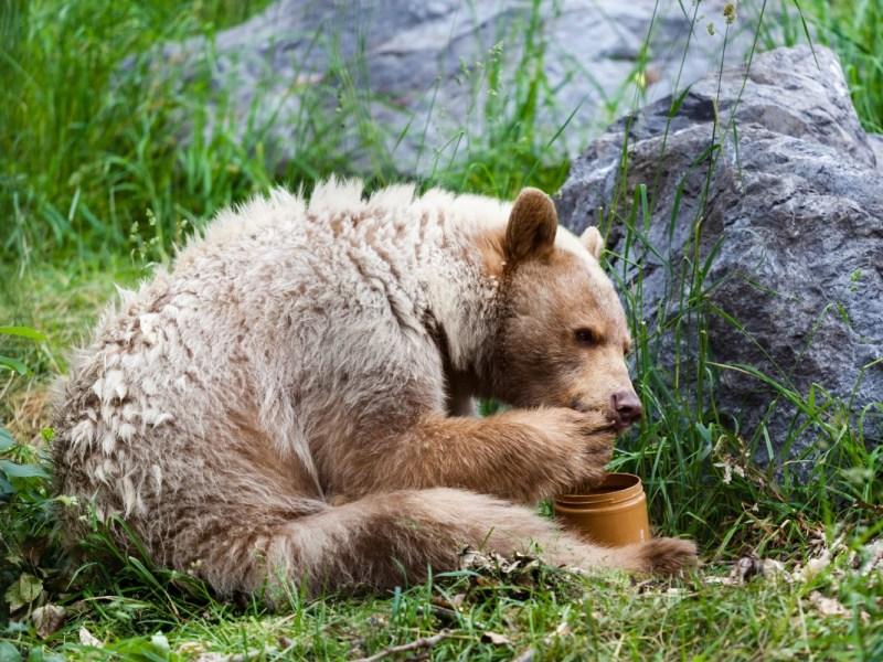 Turistas multados por alimentar un oso con mantequilla de maní