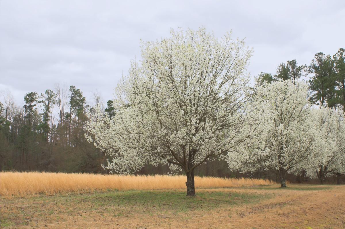 Este árbol de pera apestoso será prohibido en Carolina del Sur