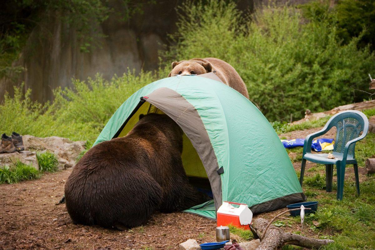 Osos agresivos continúan paseándose en campamentos ocupados en Pisgah National Forest, oficiales avisan guardar comida lejos del sitio.