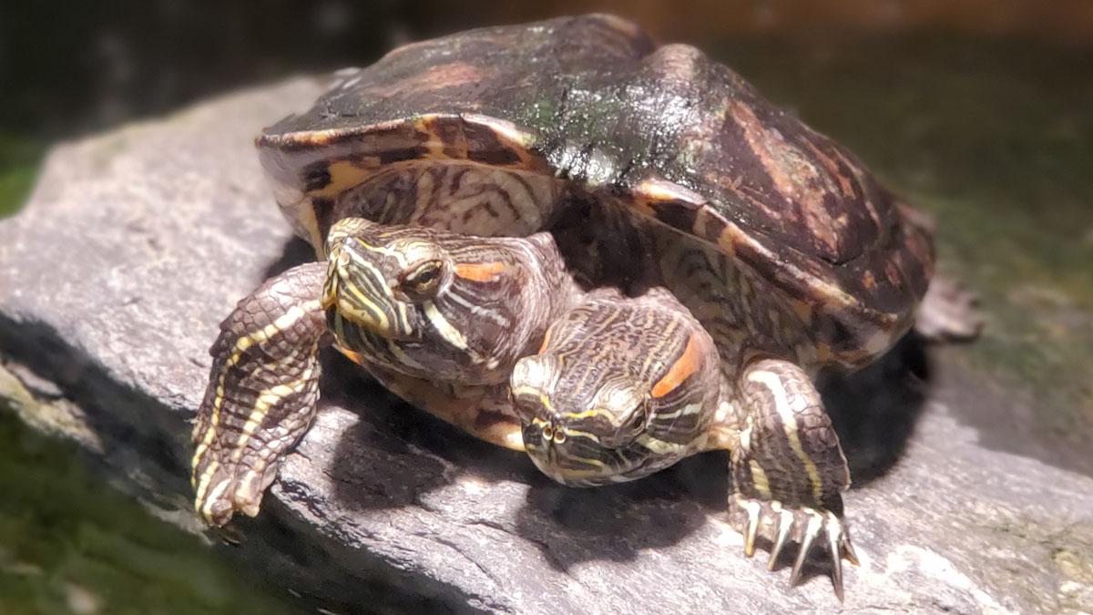 Hallan tortuga de dos cabezas en Carolina del Norte