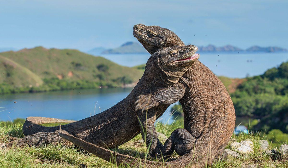 dragón komodo peligró extinción