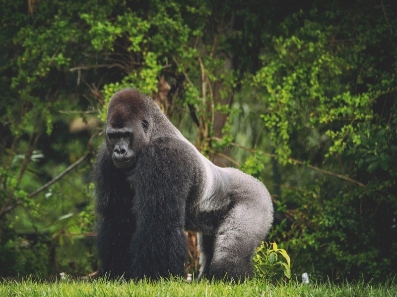 Gorilas son virales por acto sexual en zoológico del Bronx