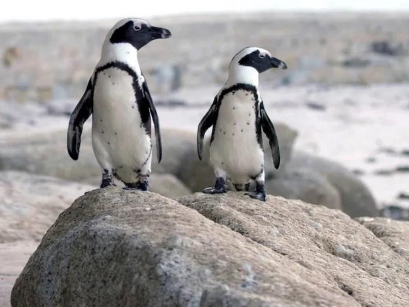 abejas matan pingüinos africanos