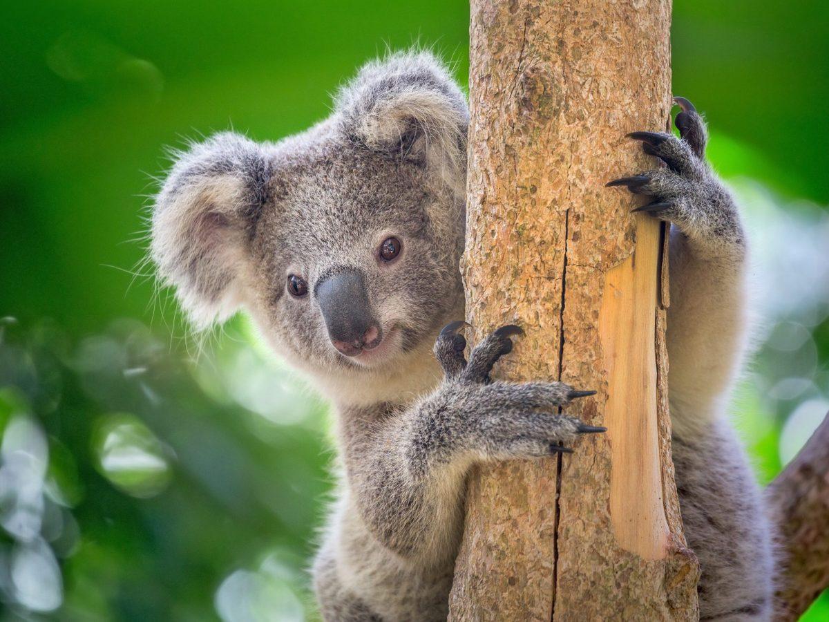 koalas clamidia especie
