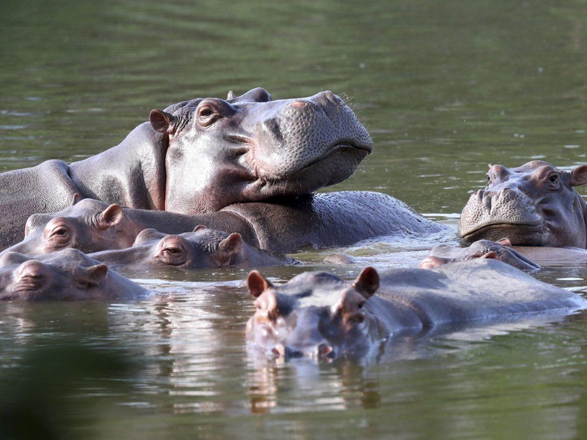 dan-estatus-de-persona-a-hipopotamos-de-la-cocaina-de-pablo-escobar