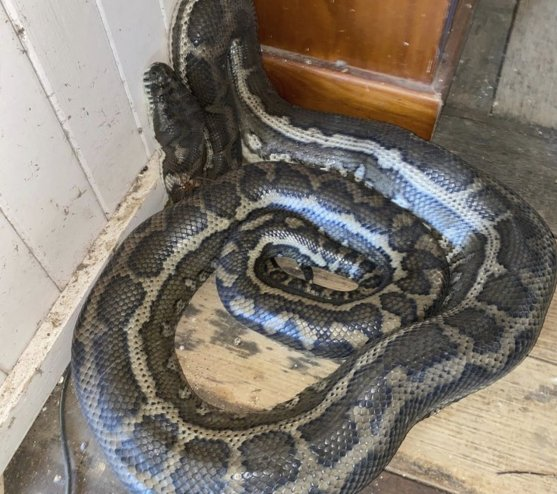 2 Pythons Weighing 100 Pounds Collapse Ceiling In Australia