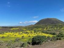 Fields of mostaza blanca