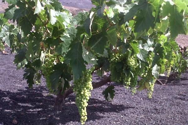 Lanzarote Grapes