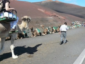 Camel Train Timanfaya