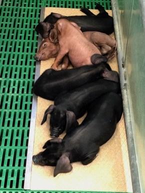 Mixed litter of piglets