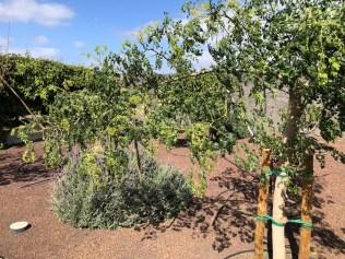 Moranga the miracle tree