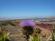 Teguise Thistle