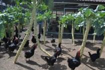 Finca de Uga chickens_2