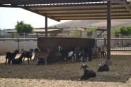Finca de Uga goats_2